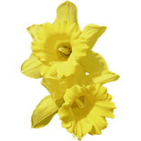 Daffodils Transparent PNG Image - Daffodils PNG