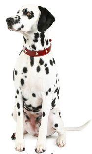 An Affectionate Family Pet and Great Watchdog Dalmatians are nice to look  at and good to be with. They wear white fur coats strewn with black or dark  brown PlusPng.com  - Dalmatian Dog PNG