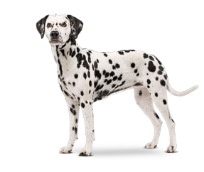 breed_picture - Dalmatian Dog PNG