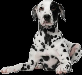 Dalmatian Dog - Dalmatian Dog PNG