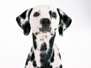 Dalmatian Dog Wallpaper Image - Dalmatian Dog PNG