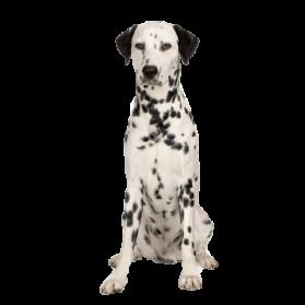 Dalmatian PNG Image - Dalmatian Dog PNG