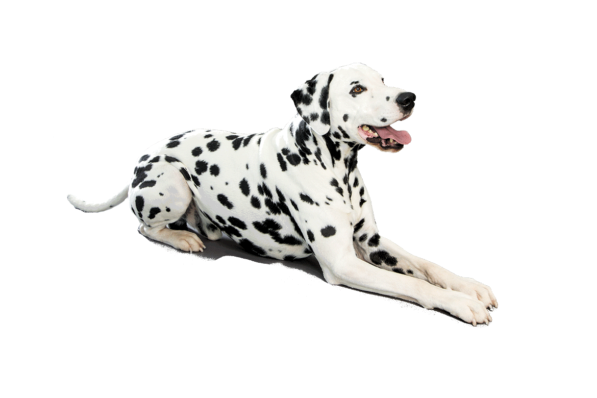 Dalmatian PNG Photo - Dalmatian Dog PNG
