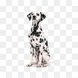 Large black and white spotted dog, Dalmatians, Dog, Pet Dog PNG Image and - Dalmatian Dog PNG