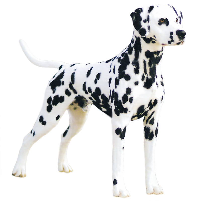 past Dalmatians in one of our. Memorial Parks that reflects the spirit of  your special spots. - Dalmatian Dog PNG