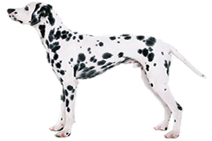 The Dalmatian is one of the most recognized of all breeds due to their  distinctive spotted coat. They are the English Coach Dog or Carriage Dog,  PlusPng.com  - Dalmatian Dog PNG