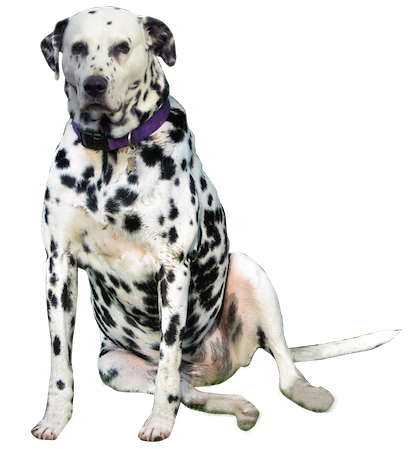 Why choose a Dalmatian to be the star of your ecard? - Dalmatian Dog PNG