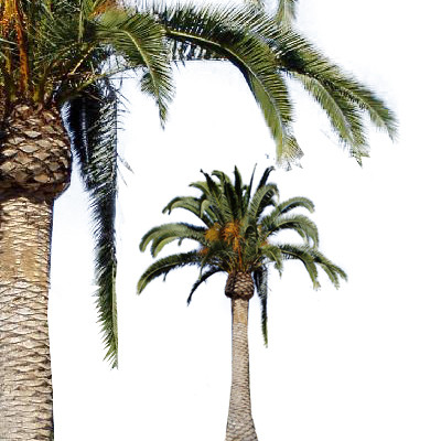 Canary Island Date Palm - Date Palm PNG