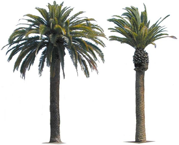 Date Palm PNG - 24758