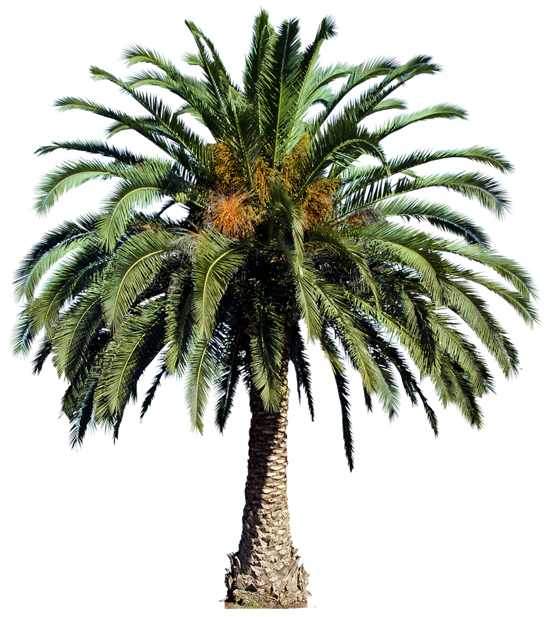 Date Palm PNG - 24760
