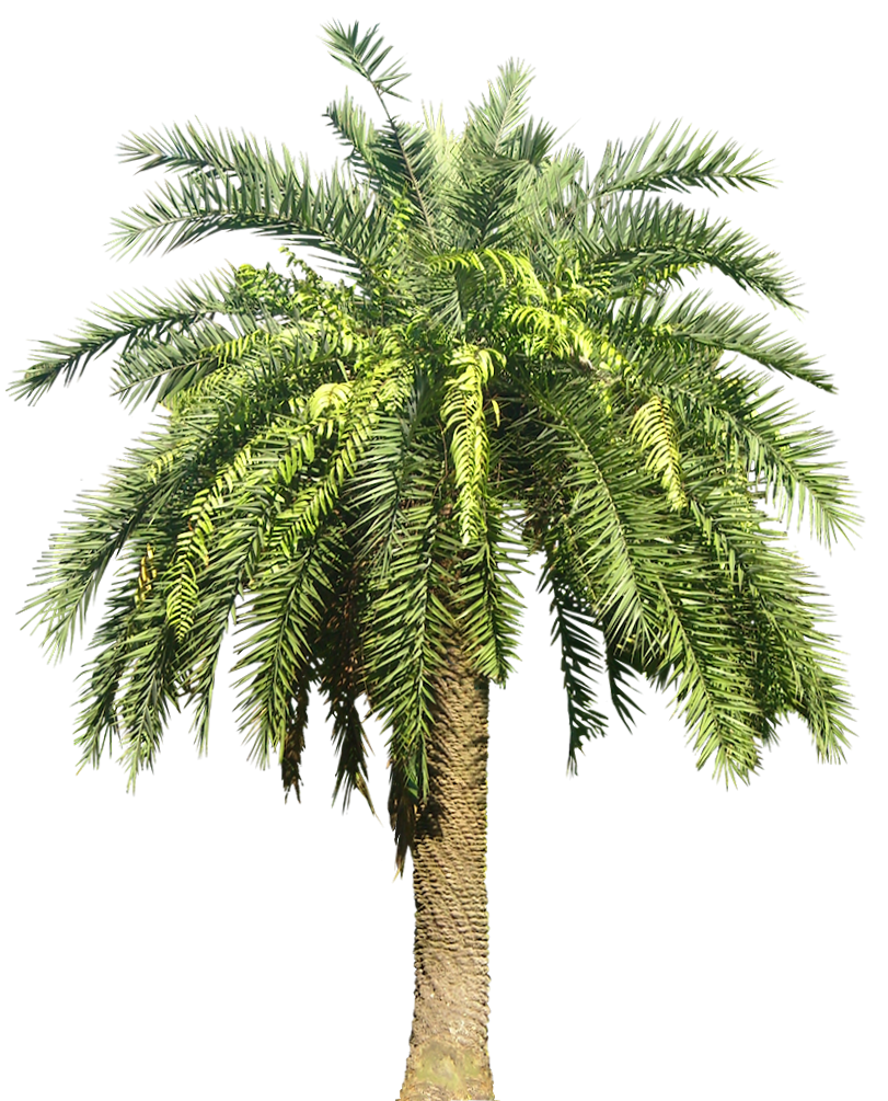 Date Palm PNG - 24762