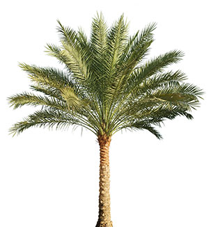 Pygmy Date Palm - Date Palm PNG