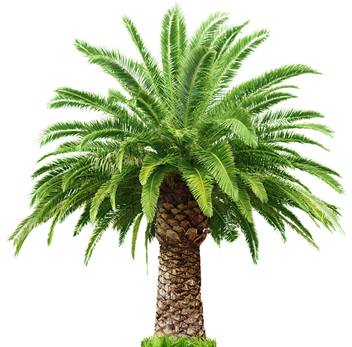 Date Palm PNG - 24771