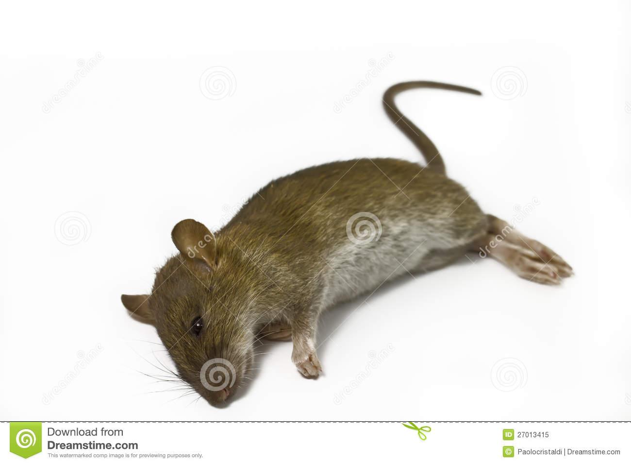 Dead Rat PNG - 67654