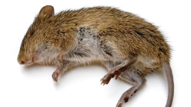 Dead Rat PNG - 67638