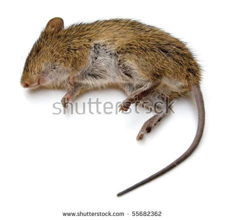 Dead Rat PNG - 67639