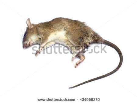 Dead Rat PNG - 67641