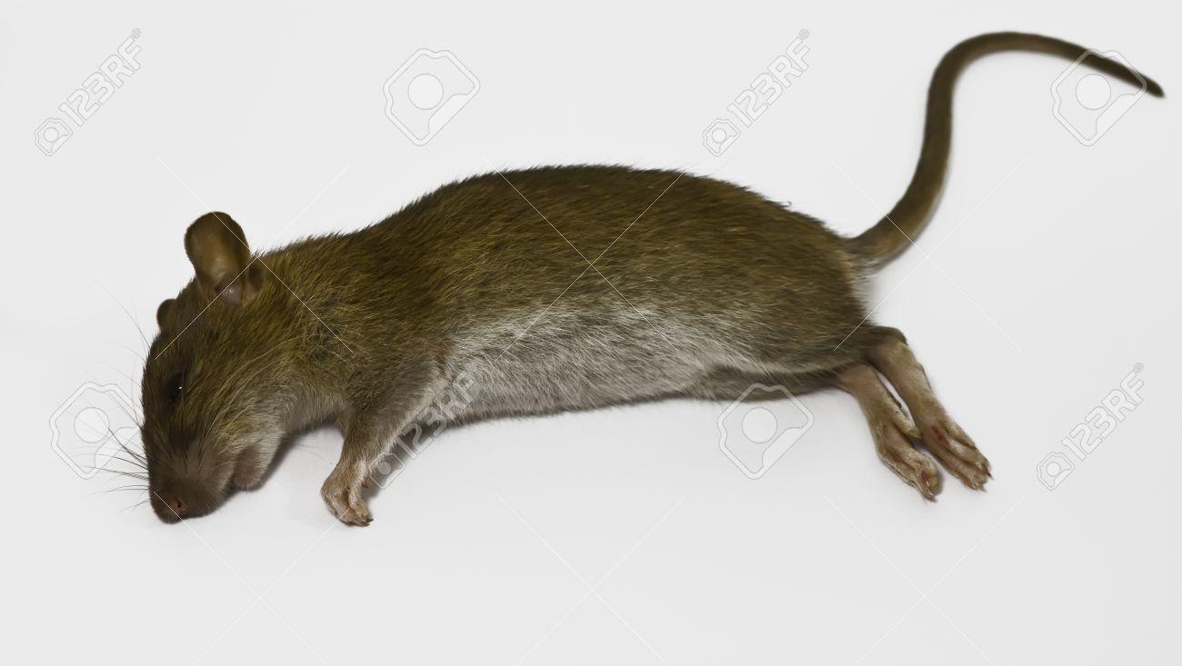 Dead Rat PNG - 67647