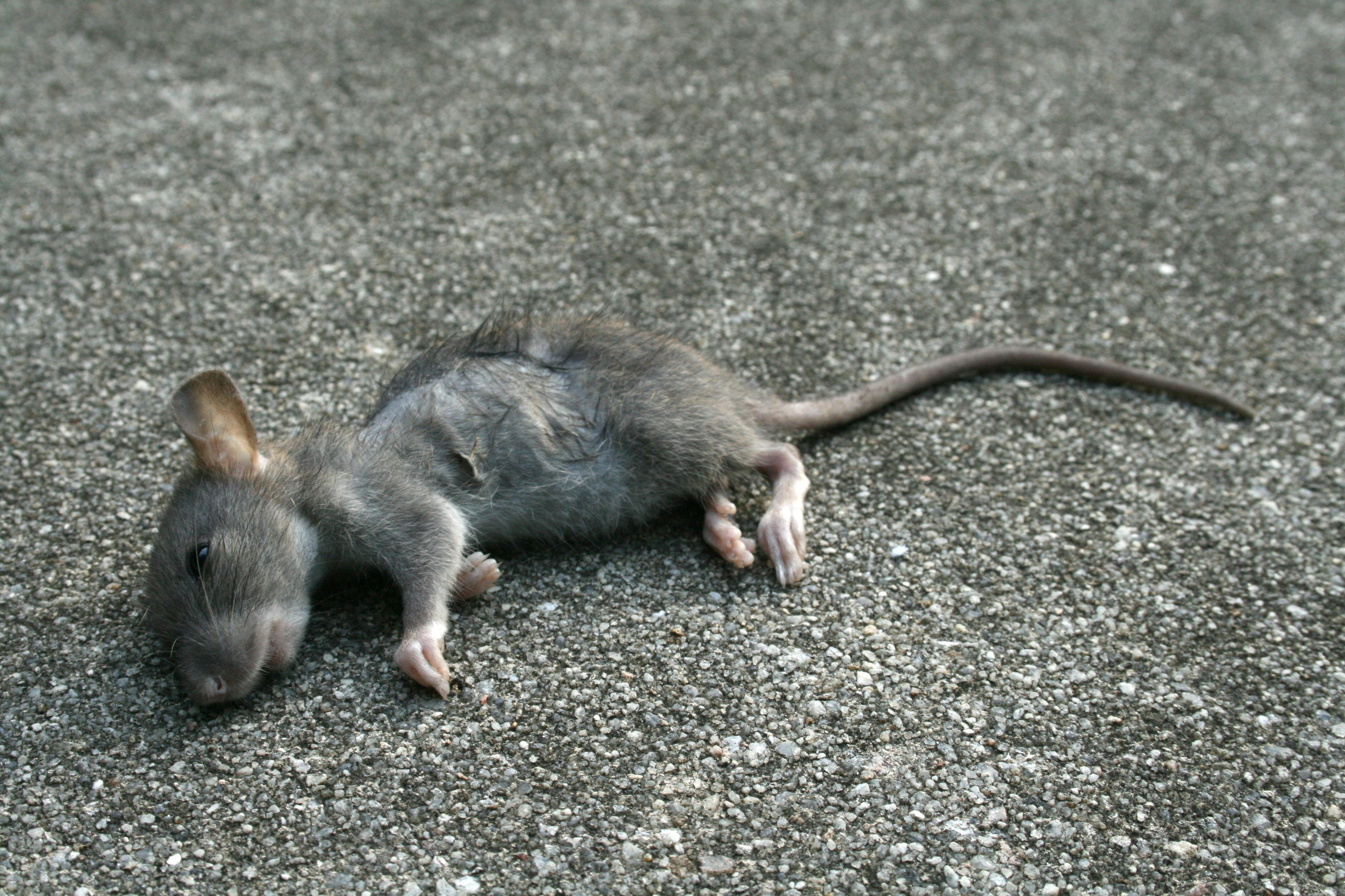 Dead Rat PNG - 67651