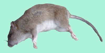 Dead Rat PNG - 67640