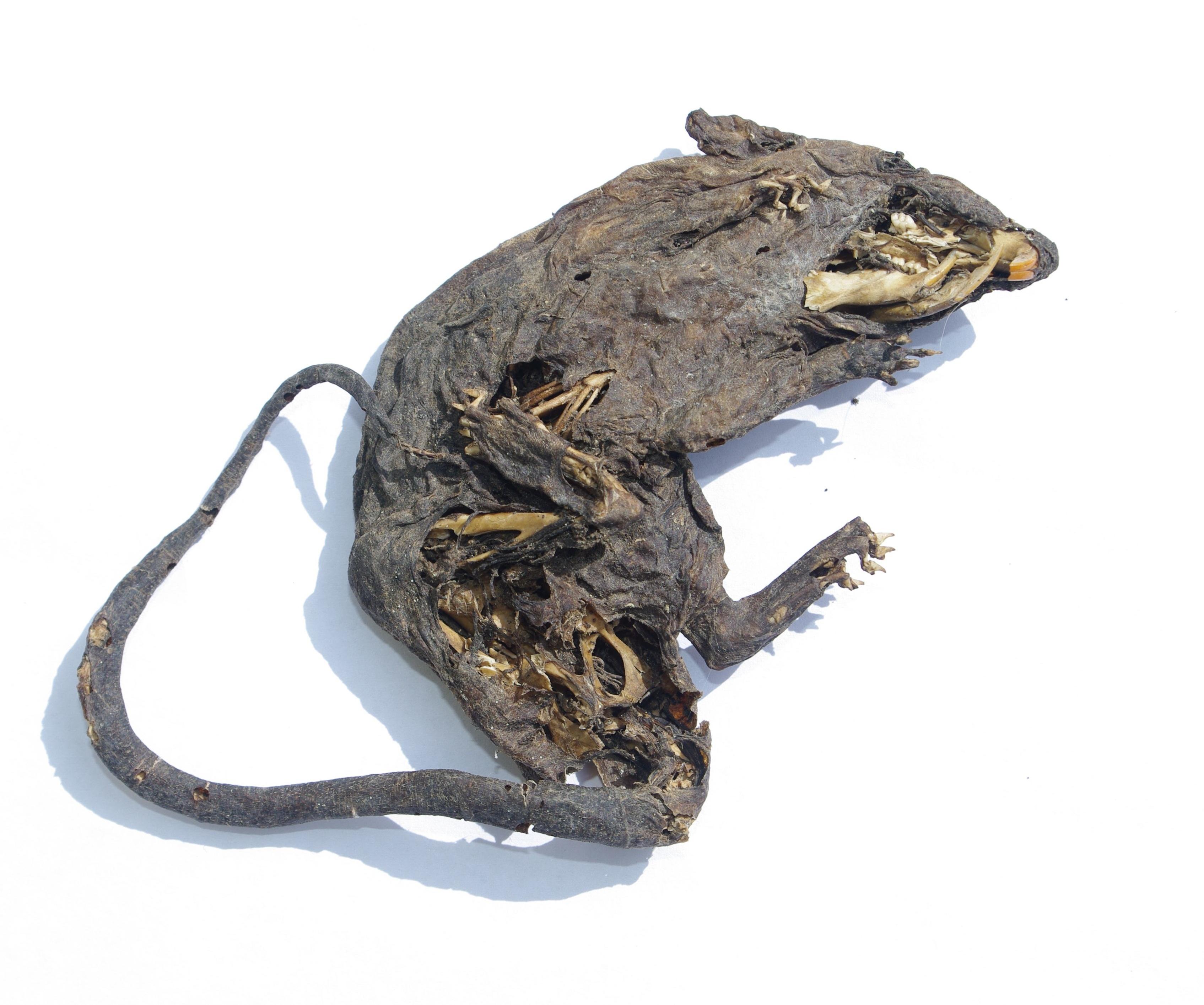 Dead Rat PNG - 67652