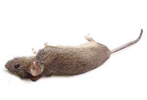 Dead Rat PNG - 67646