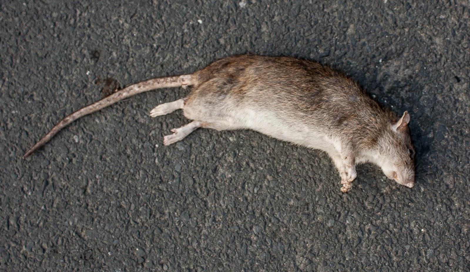 Dead Rat PNG - 67650