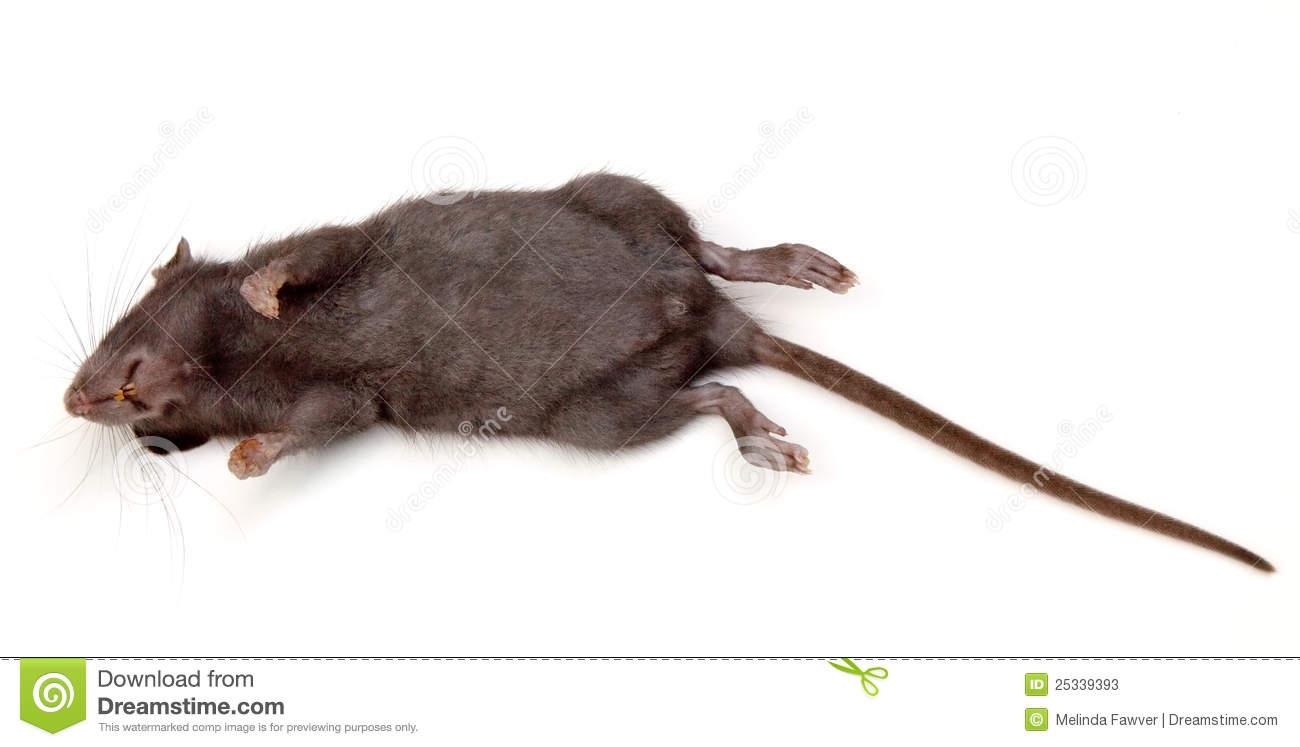 Dead Rat PNG - 67642