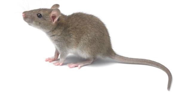 Dead Rat PNG - 67644