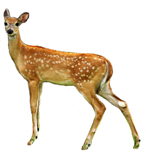Deer - Dear PNG HD