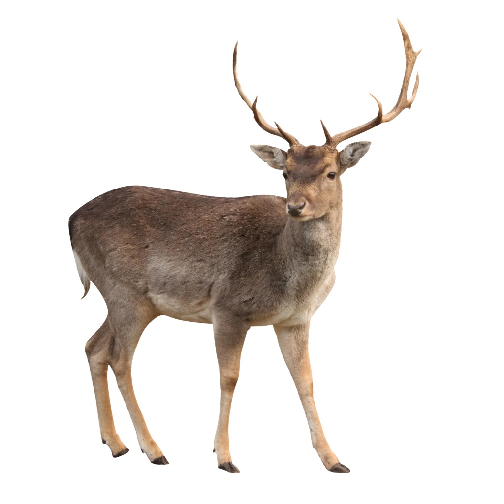 Deer HD PNG-PlusPNG pluspng.com-1024 - Deer HD PNG - Dear PNG HD