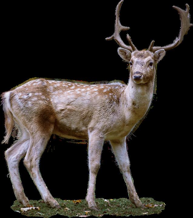Roe Deer, Antler, Fallow Deer, Wild - Dear PNG HD