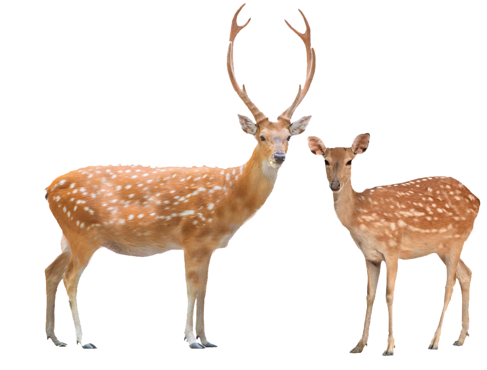 The Spirit animal Deer symbolizes gentleness, wisdom and grace. The Deer  symbolizes the power to deal with adversity with grace. If the Deer shows  itself to PlusPng.com  - Dear PNG HD