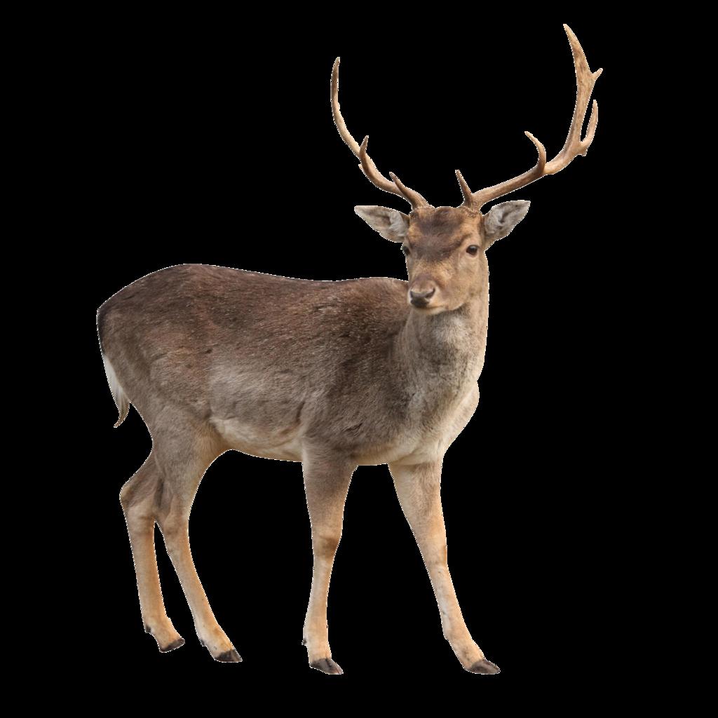 Deer HD PNG-PlusPNG.com-1024 - Deer HD PNG