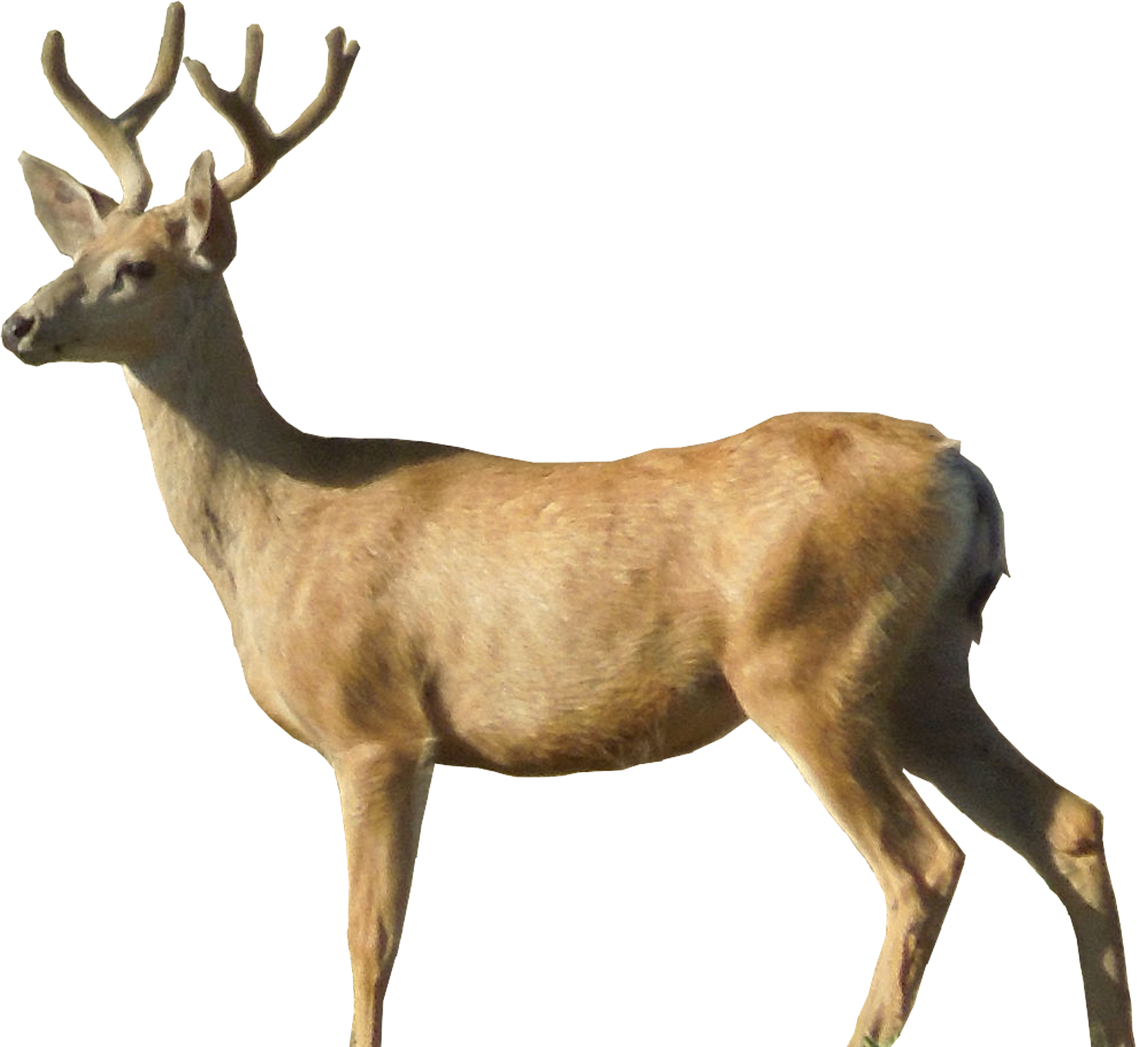 Deer HD PNG-PlusPNG.com-1650 - Deer HD PNG