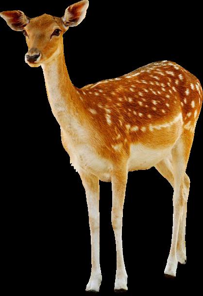 Deer HD PNG-PlusPNG.com-418 - Deer HD PNG