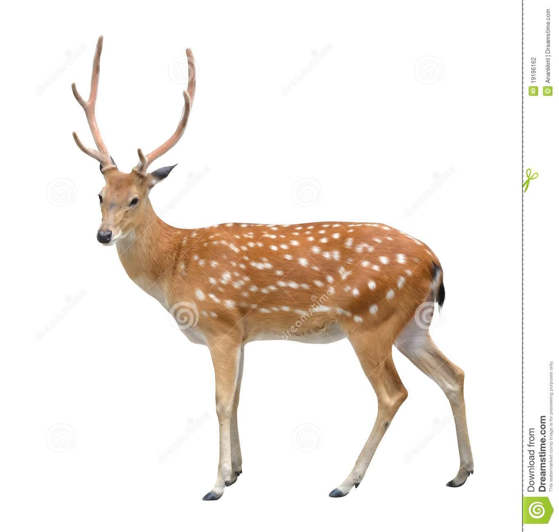 Deer - Deer HD PNG