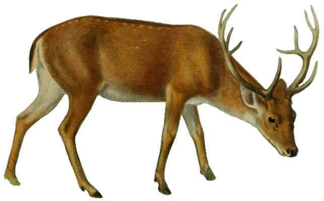 File:The deer of all lands (1898) Swamp deer white background.png - Deer HD PNG