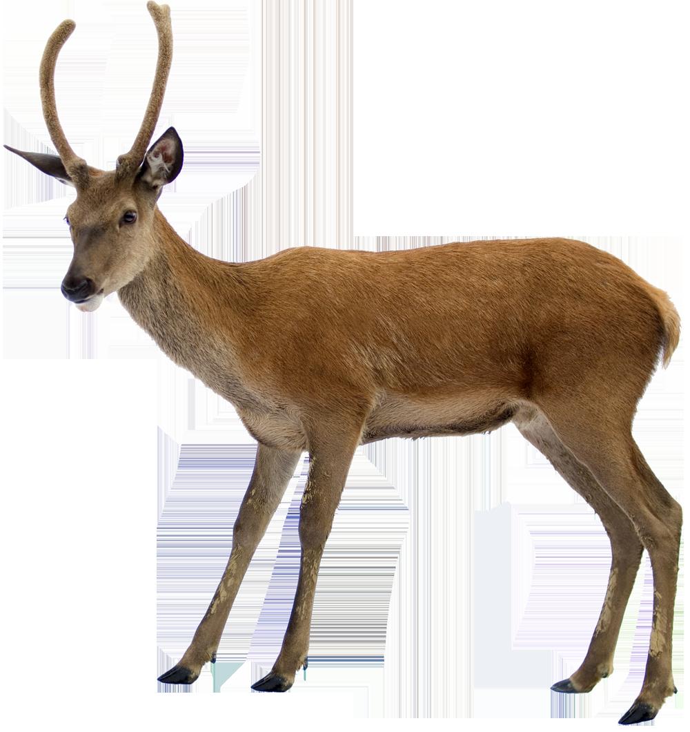 Deer PNG-PlusPNG.com-1000 - Deer PNG