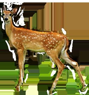 Deer PNG - 21576