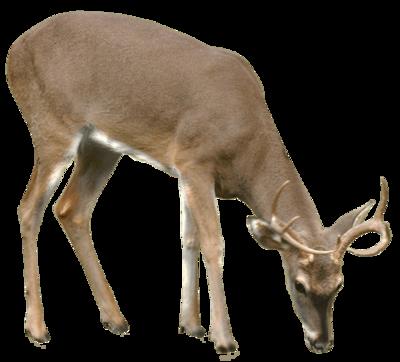 Deer PNG - 21580