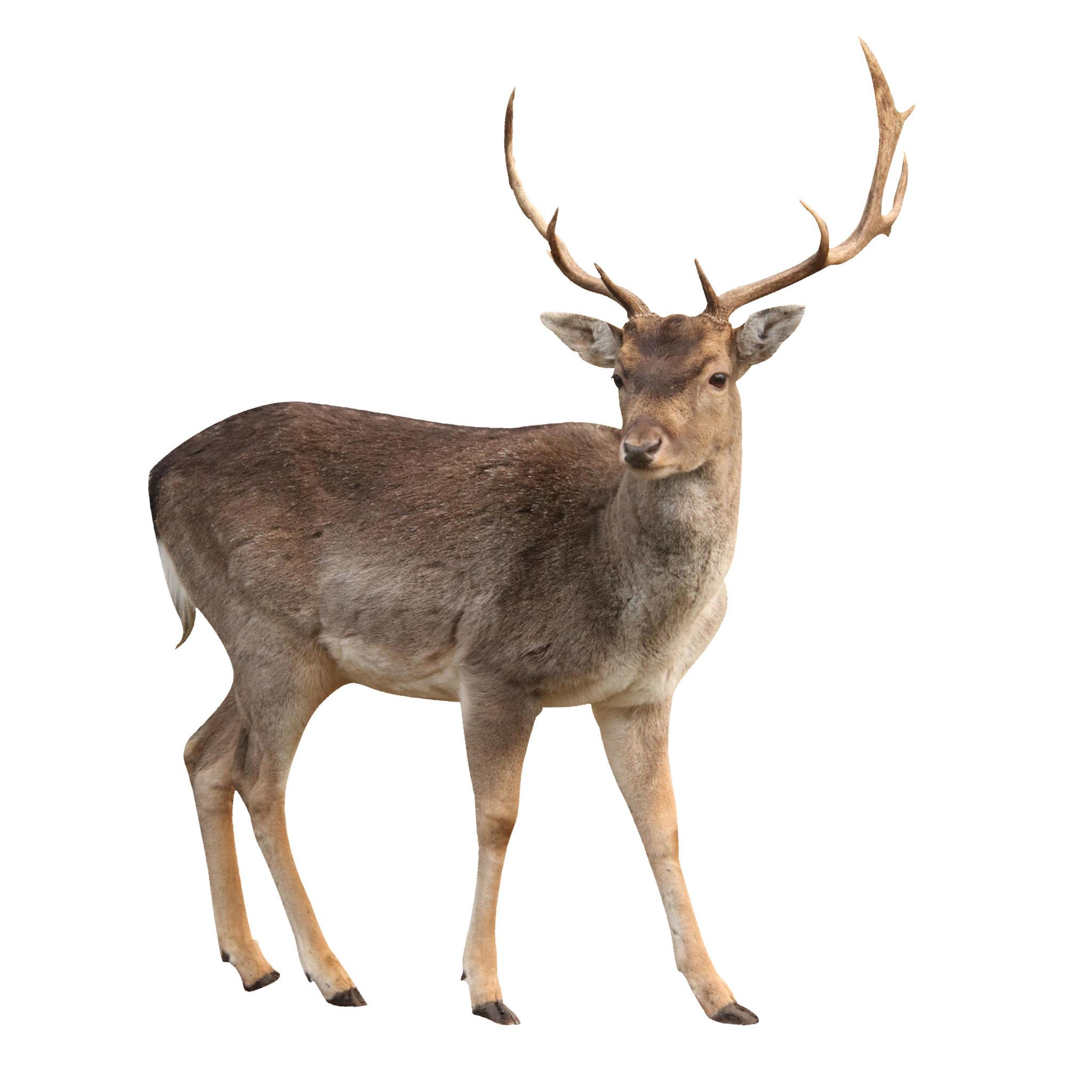 Deer PNG - 21587