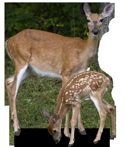 Deer PNG - 21574