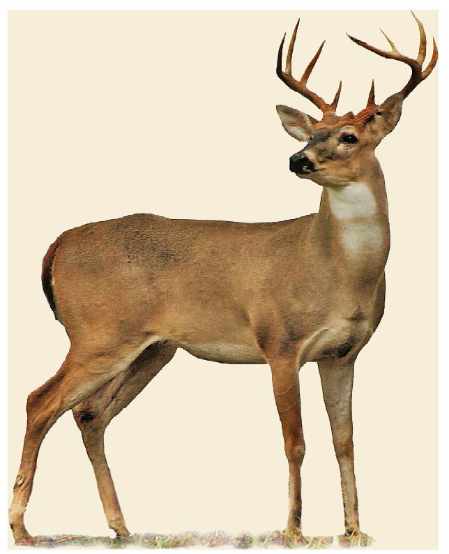 Deer PNG - 21573