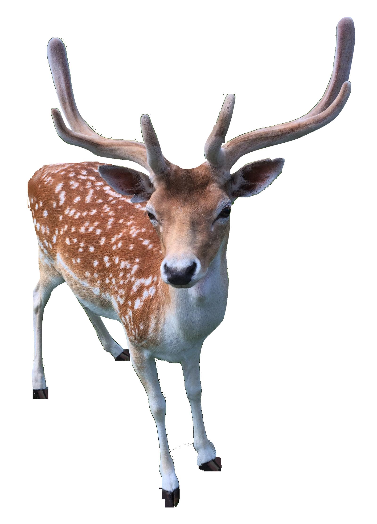 Deer PNG Transparent Image - Deer PNG