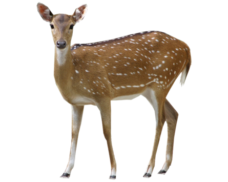 Buck Deer PNG - Deer PNG HD