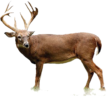 Deer PNG HD - 131772