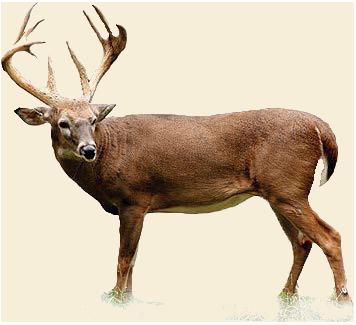 Deer Download Png PNG Image - Deer PNG HD