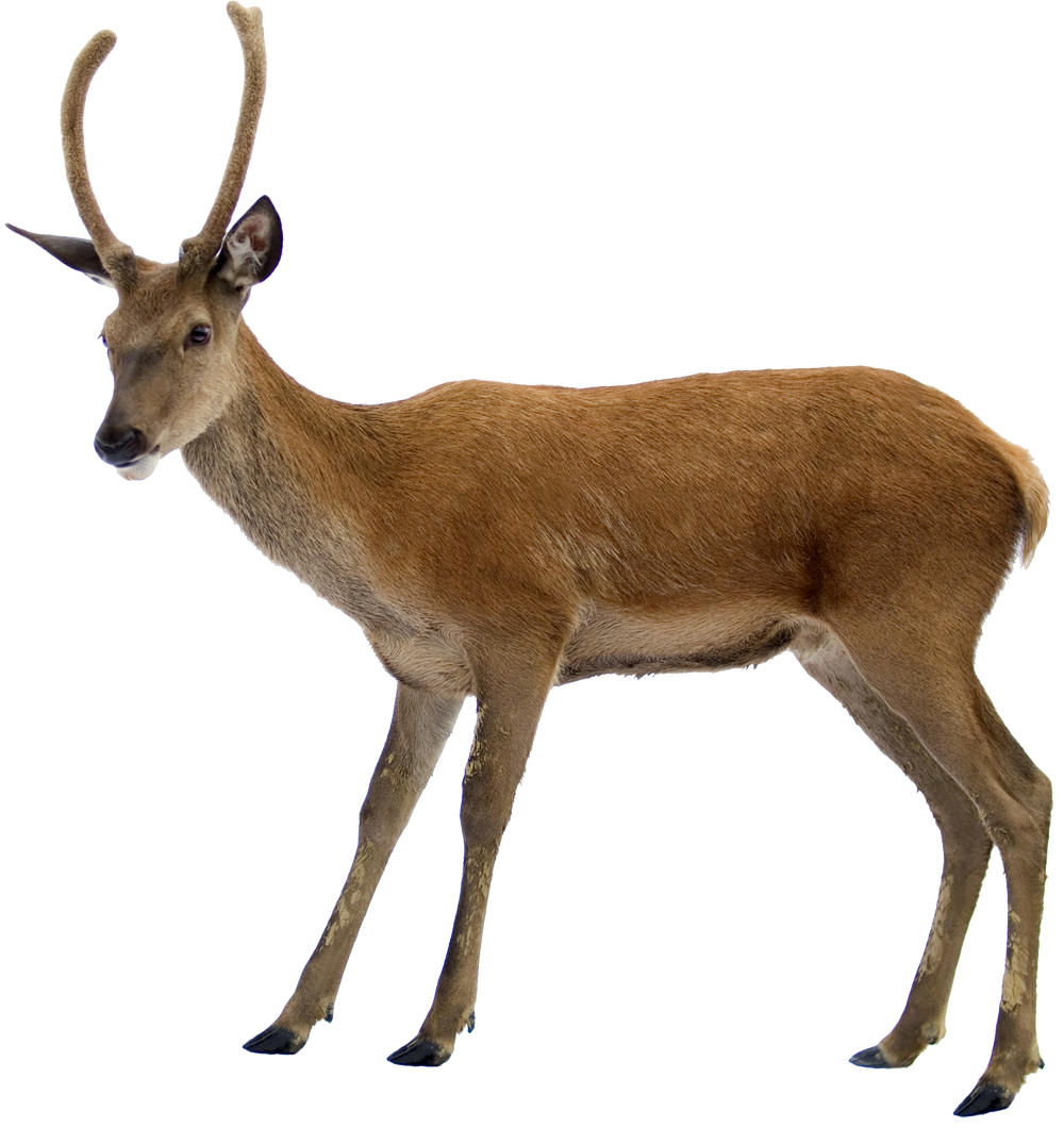 Deer PNG HD - 131767