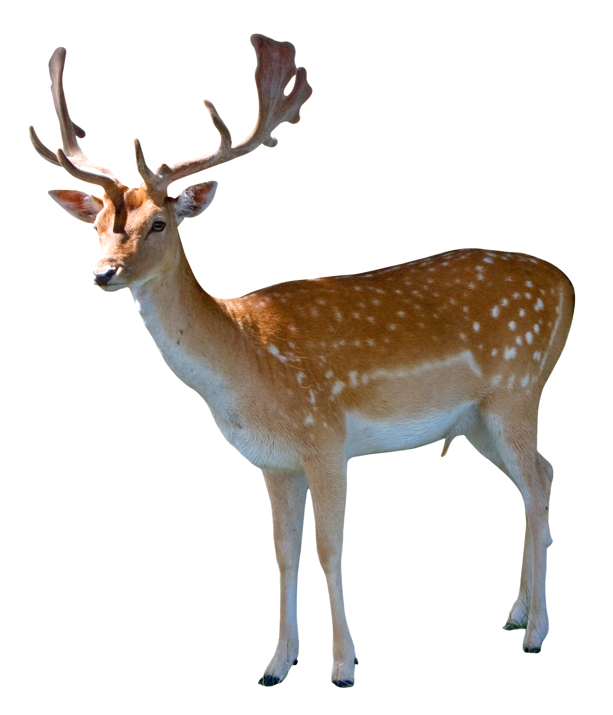 Deer PNG Transparent Image - Deer HD PNG - Deer PNG HD